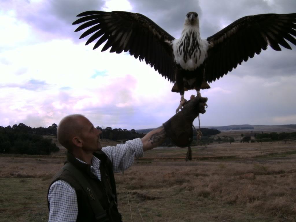 Comparação do tamanho de águias  com relação ao homem. PICT1406