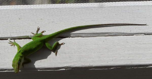 Lizard Love SAM_1222