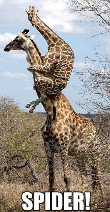 The Comedy Store - Page 4 Giraffe