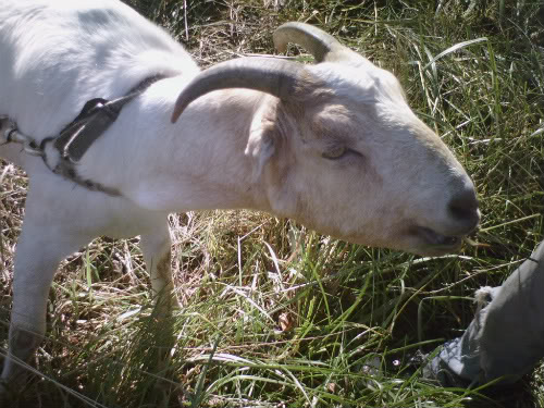 So excited I am getting a new goat 004-7-1