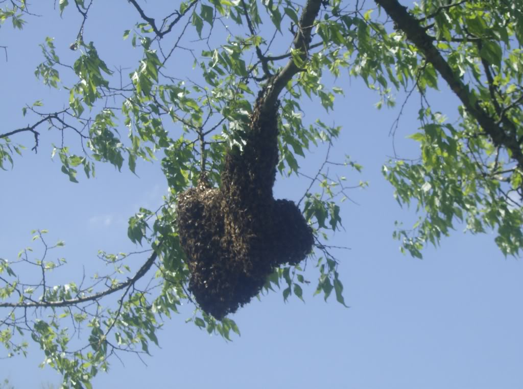 Bee Swarms---- 006-8