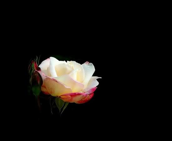 Fotografije cvijeća - Page 38 Ruza18