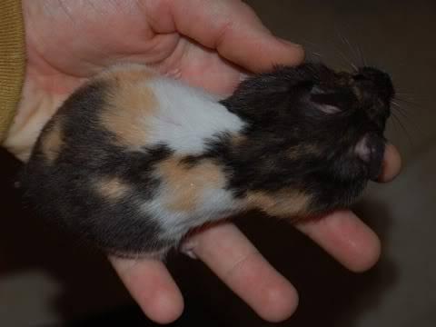 FREE - 3 Hamsters(Hairless & Calico) - Ohio DSC_0604