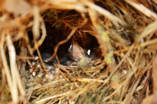Fotos crias Bico Lacre no ninho Aves055
