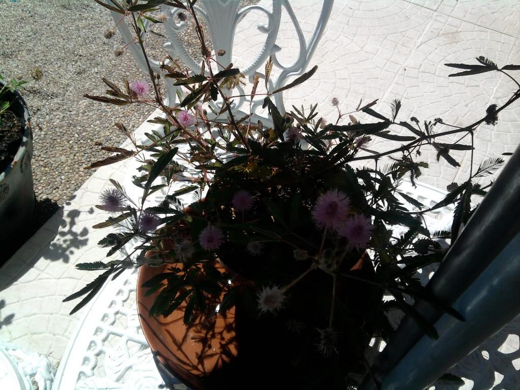 a minha primeira tentativa com mimosa pudica - Página 2 2011-08-15133455
