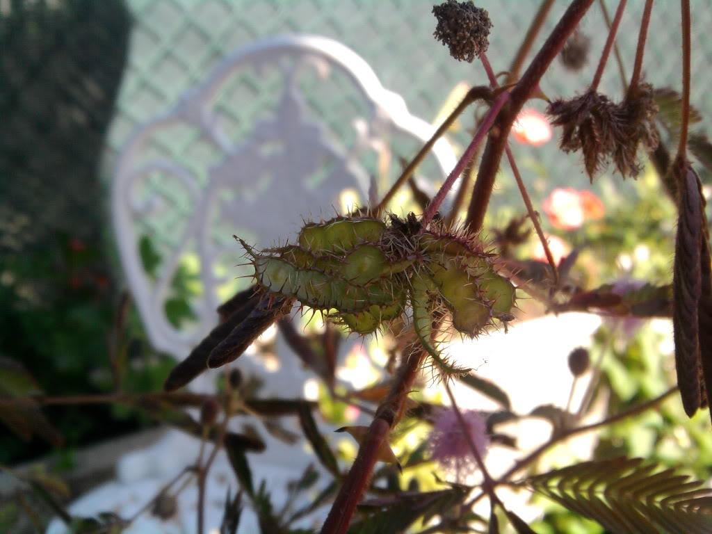 a minha primeira tentativa com mimosa pudica - Página 2 2011-08-15155908