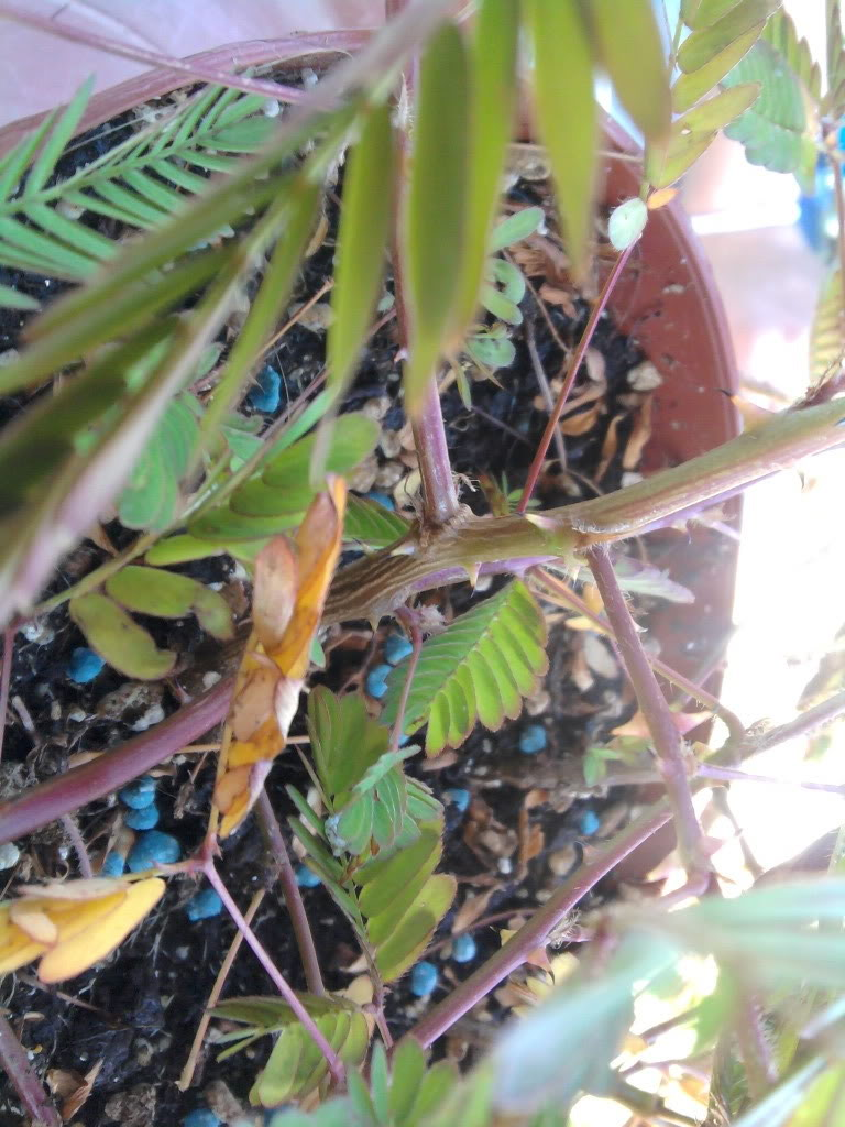 a minha primeira tentativa com mimosa pudica - Página 2 2011-08-15161030