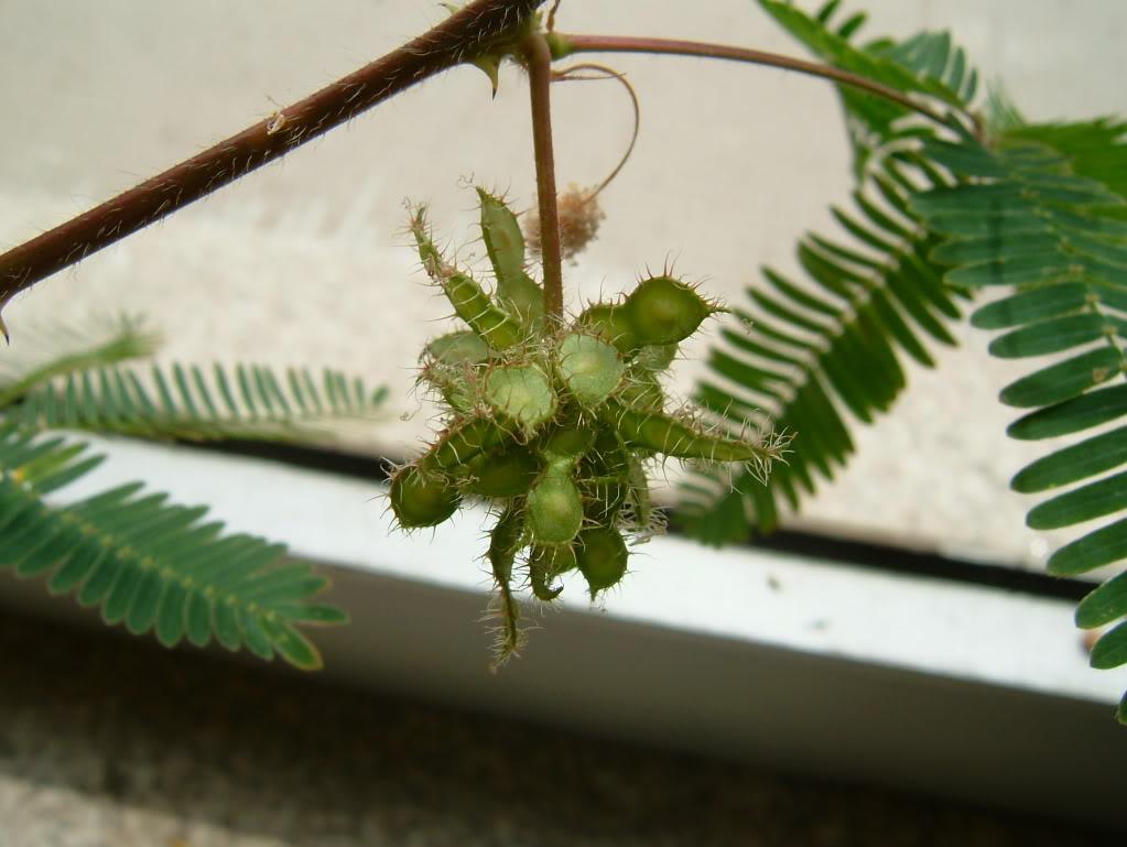 a minha primeira tentativa com mimosa pudica - Página 2 DSCF4563