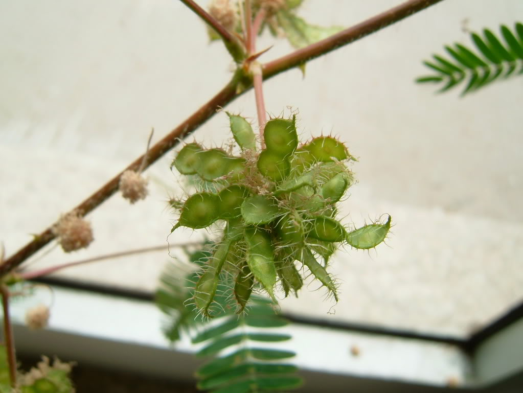 a minha primeira tentativa com mimosa pudica - Página 2 DSCF4564