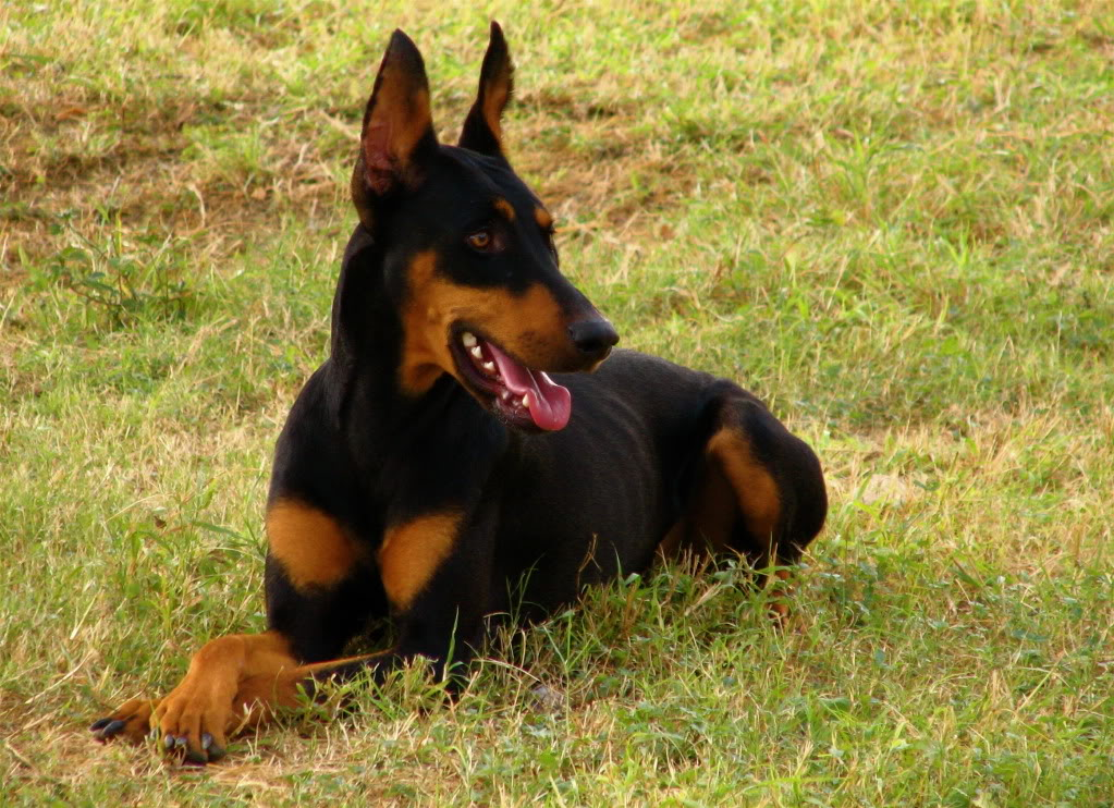Wuff Like A Dog(Stray dogs)Semlit Accepting Doberman_Pinscher_down