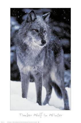 HayyelObsession Wolf-9916620