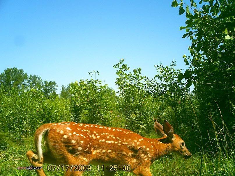 Bambi et sa mère 21juil09109