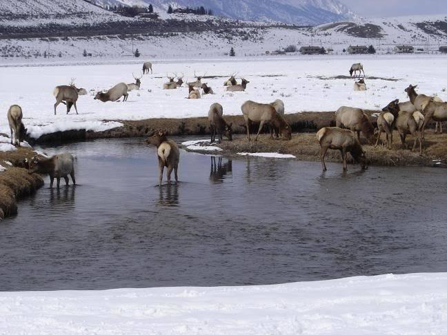 Très beau rack ( cerf mûlet) Elk2