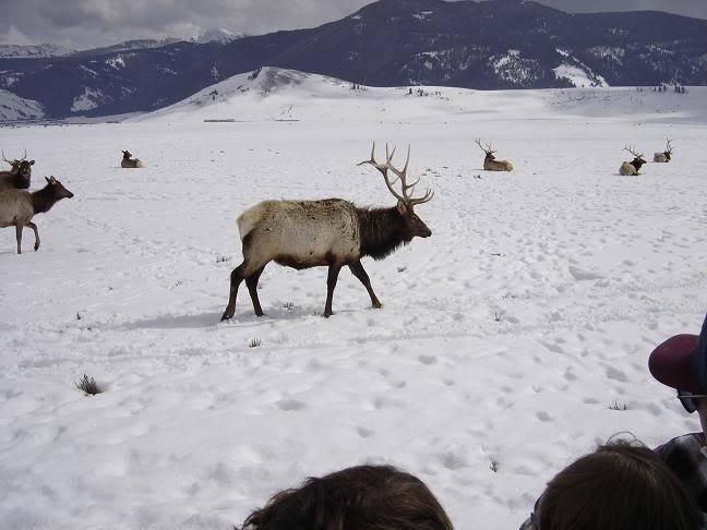 Très beau rack ( cerf mûlet) Elk3