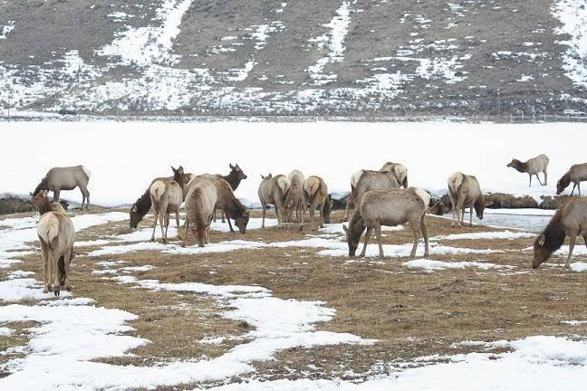 Très beau rack ( cerf mûlet) Elk4