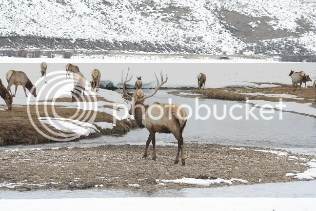 Très beau rack ( cerf mûlet) Elk5