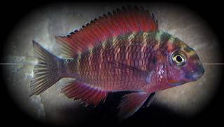 Tropheus sp Red Ndole Ndoleyoung-1-1