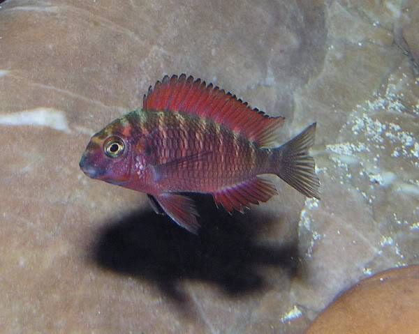 Tropheus sp Red Ndole Ndoleyoung