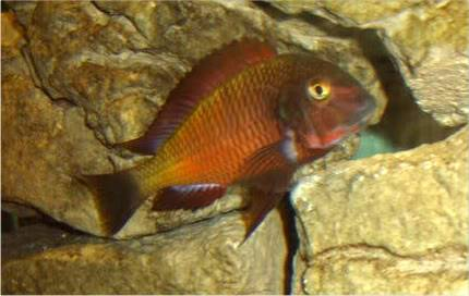 Tropheus sp Red Ndole STA60398-2