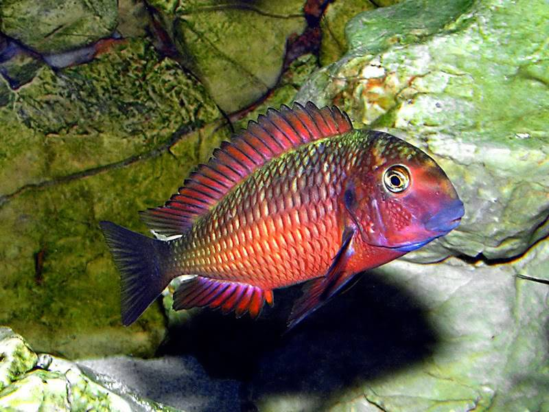 Tropheus sp Red Ndole Guessinggame6