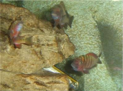 Tropheus sp Red Ndole STA60003-1