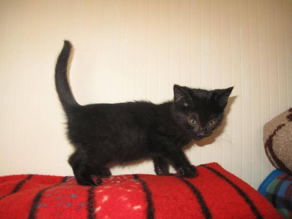 Χαρίζεται ένα μικρό εβένινο μωρό 3 μηνών ,φτιαγμένο απο βελούδο-Υιοθετήθηκε!!!!  10418620_740912522627250_1614989176_o-cat_zps9a0ea2dc