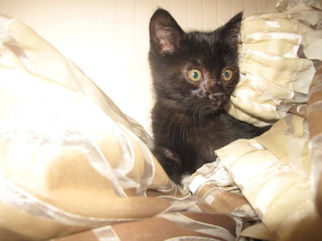 Χαρίζεται ένα μικρό εβένινο μωρό 3 μηνών ,φτιαγμένο απο βελούδο-Υιοθετήθηκε!!!!  10420688_740912752627227_1491481681_o-cat_zpsba2e7135