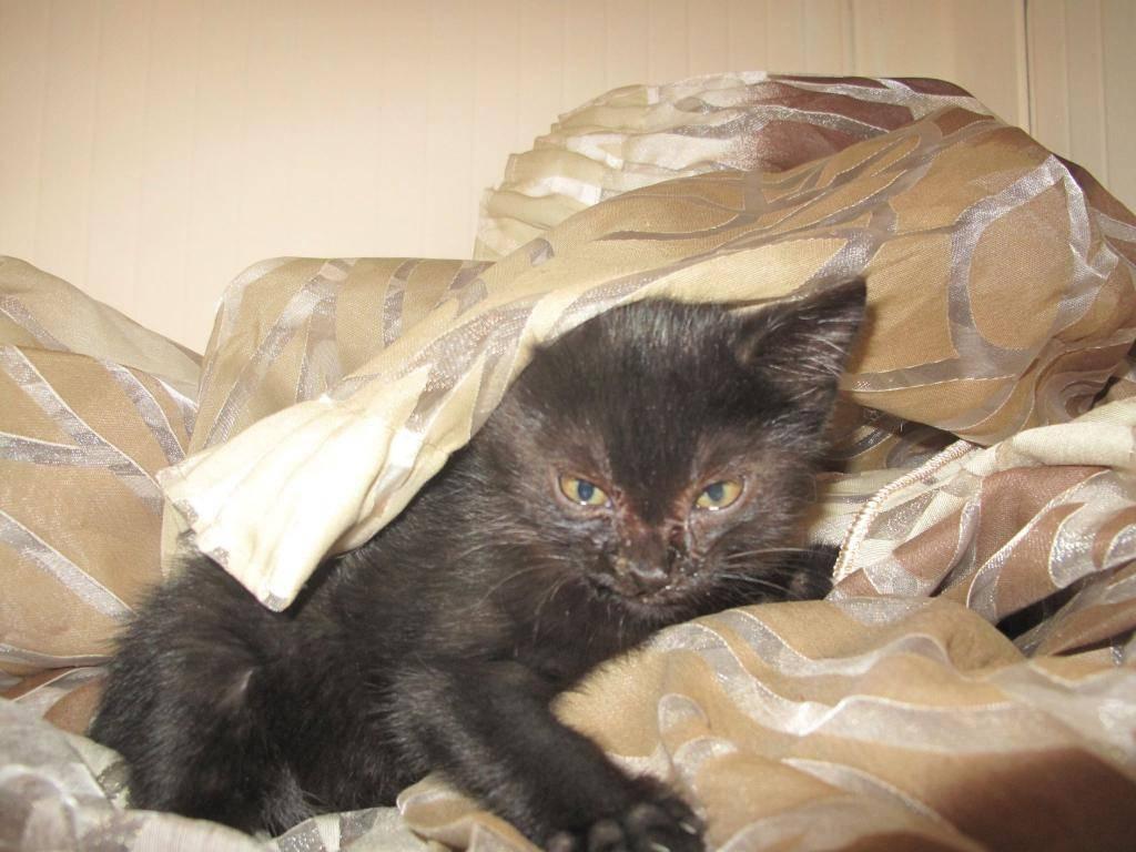 Χαρίζεται ένα μικρό εβένινο μωρό 3 μηνών ,φτιαγμένο απο βελούδο-Υιοθετήθηκε!!!!  10426036_740912655960570_429895915_o-cat_zps62d24fbf