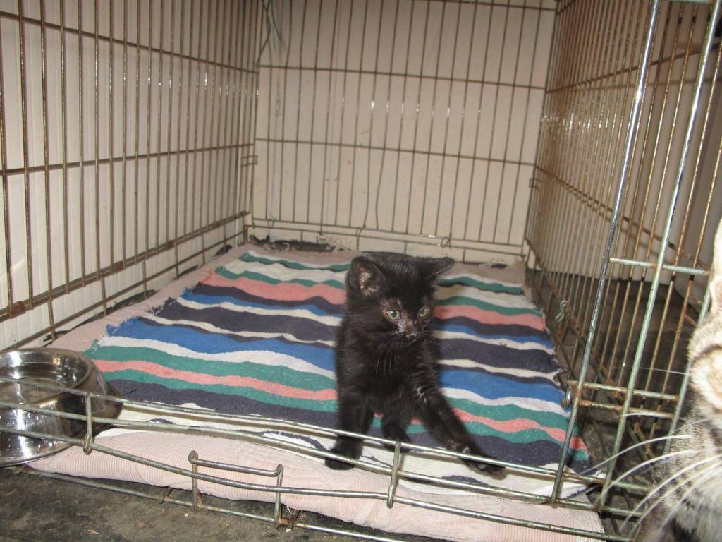 Χαρίζεται ένα μικρό εβένινο μωρό 3 μηνών ,φτιαγμένο απο βελούδο-Υιοθετήθηκε!!!!  10433540_740912532627249_339846055_o-cat_zpscdb4d973