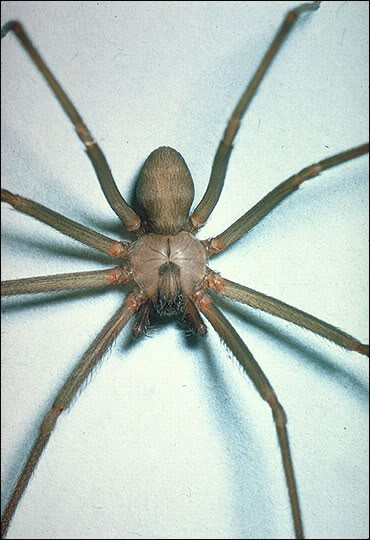 Scariest spider of all time. Warning Not For Squimish! 82aef5a5