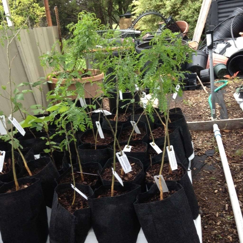 Thornless Honey Locust Seedlings Locust%20Seedling_zpsw90l6dk2
