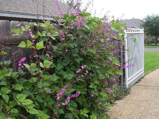 Hyacinth Bean Vine Seeds Hyacinth%20bean%20purple_zpsfebwwgmw