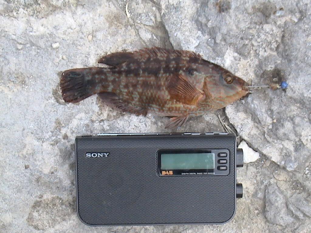 corkwing wrasse Fisheywishey150