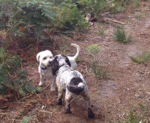 Bailey - 17 month old Westie/Bichon Frise/Cavalier cross - Fostered Berkshire Bailey06-2