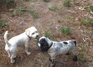 Bailey - 17 month old Westie/Bichon Frise/Cavalier cross - Fostered Berkshire Bailey07