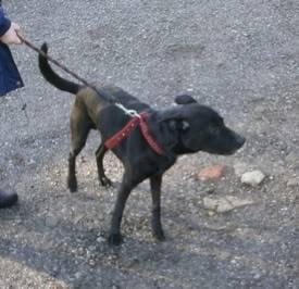 Ben, 4 (ish) years old, Labrador x Ben04