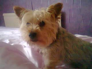 Chaz (Charlie), Miniature Yorkie, 7 yrs Chas02