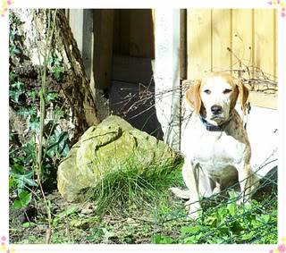 Dewi - 5 year old Harrier Hound - Good with kids over 5, cats and dogs Dewi31