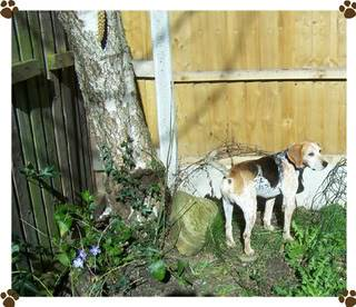 Dewi - 5 year old Harrier Hound - Good with kids over 5, cats and dogs Dewi32