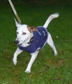 George, 2 year old, Jack Russell Terrier George04