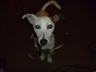 George, 2 year old, Jack Russell Terrier George05
