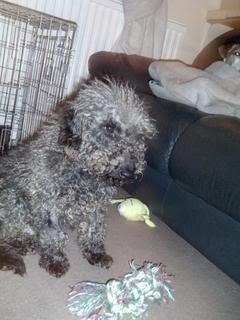 Huwie, 5 year old Beddlington Terrier - Fostered in South Wales Huwie01_zps89f8fbc5