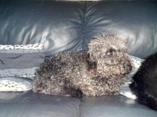 Huwie, 5 year old Beddlington Terrier - Fostered in South Wales Huwie06_zpse5c0a2dd