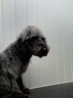 Huwie, 5 year old Beddlington Terrier - Fostered in South Wales Huwie07_zps428aa5c0