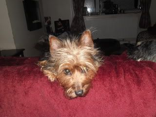Kez, approx 1 year Yorkshire Terrier, Fostered in South Wales. Kez03_zps5c1b712e
