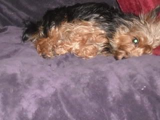 Kez, approx 1 year Yorkshire Terrier, Fostered in South Wales. Kez04_zps2352bcfe