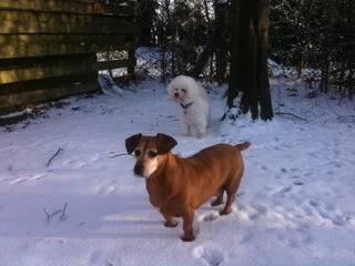 Lucy & Morris,  Dachshund x & Bichon, 10 years old LucyBoris01