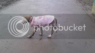 Nutmeg - 9 week old Lurcher pup Nutmeg03