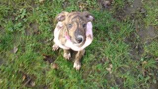Nutmeg - 9 week old Lurcher pup Nutmeg06