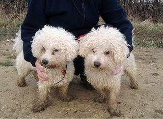 Benji and Oscar - 3 and 5 year old Bichon Frise pair OscarBenji02
